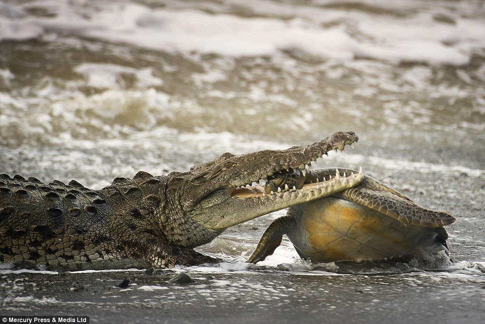 The gut-wrenching moment a crocodile burst from the sea to snatch a turtle by the head