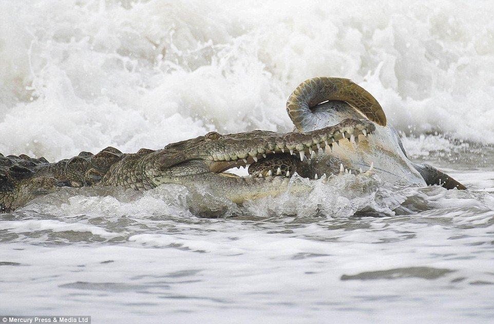 turtle-gator 2