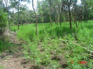 Game wardens working more marijuana cultivation cases