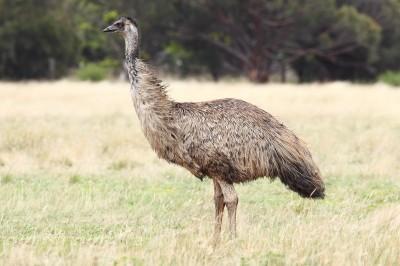 Emu-wild-400x266