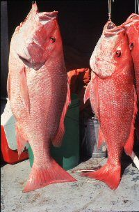 REDSNAPPER IMAGE
