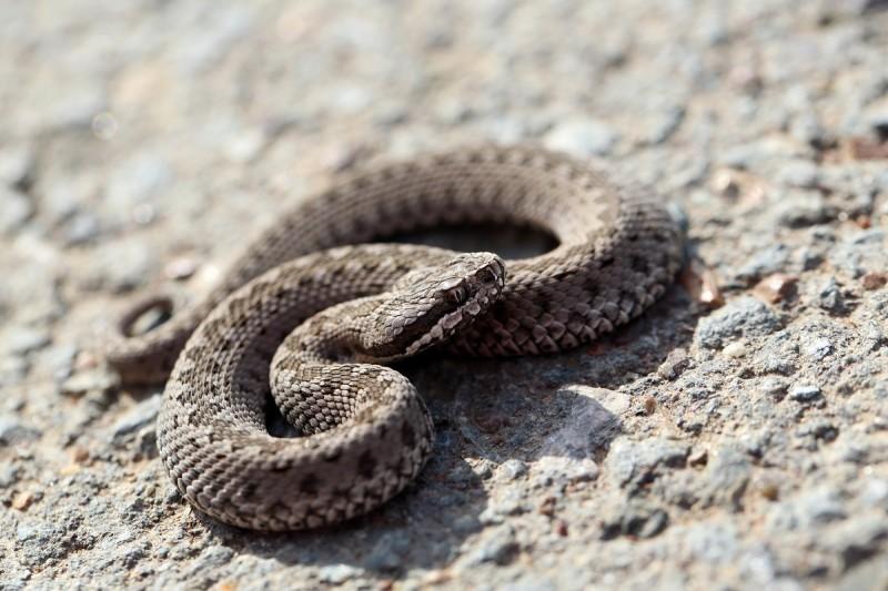 Snakebites-800x533