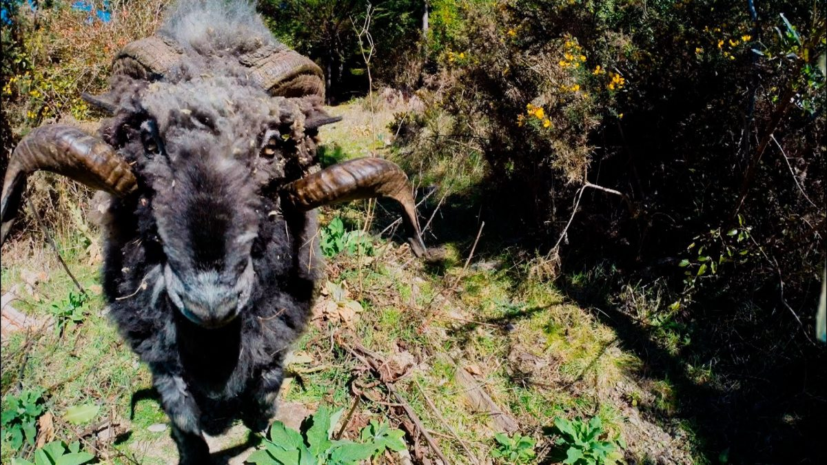 Angry Ram Knocks Drone Out of Sky (VIDEO)