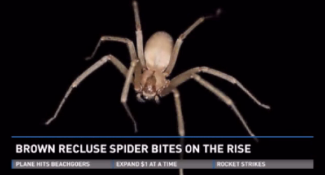 Brown Recluse bites on the rise