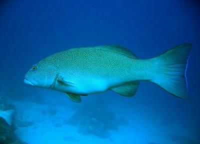 coraltrout-400x288