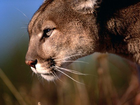 Mountain lion: Boy in California dragged off by mountain lion, rescued by dad (VIDEO)