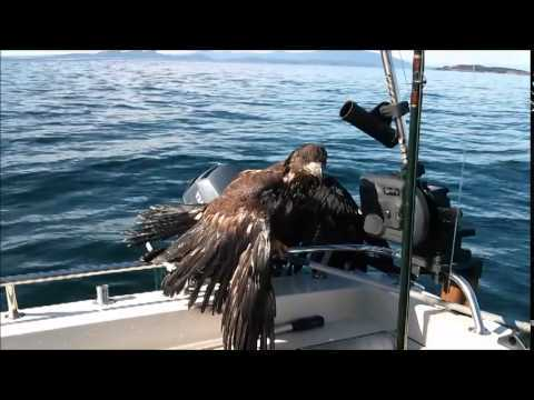 Fisherman rescues ailing bald eagle from water