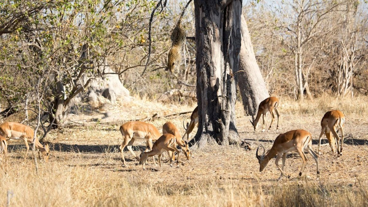 Group of Impalas Had No Idea What Was Hiding Up Above in the Tree — Until It Was Too Late