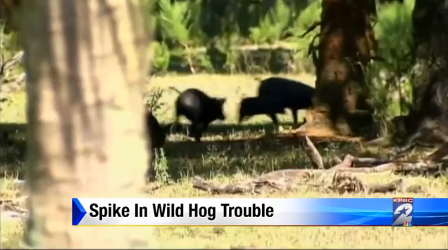 Wild hogs cause problems across Houston area