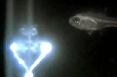 Why are these fish shooting out blue lasers with their mouth?
