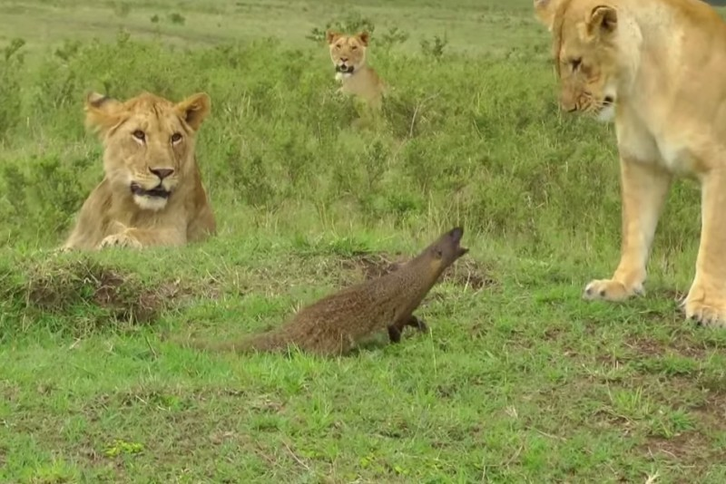 Lion Pride Held at Bay by Angry Mongoose