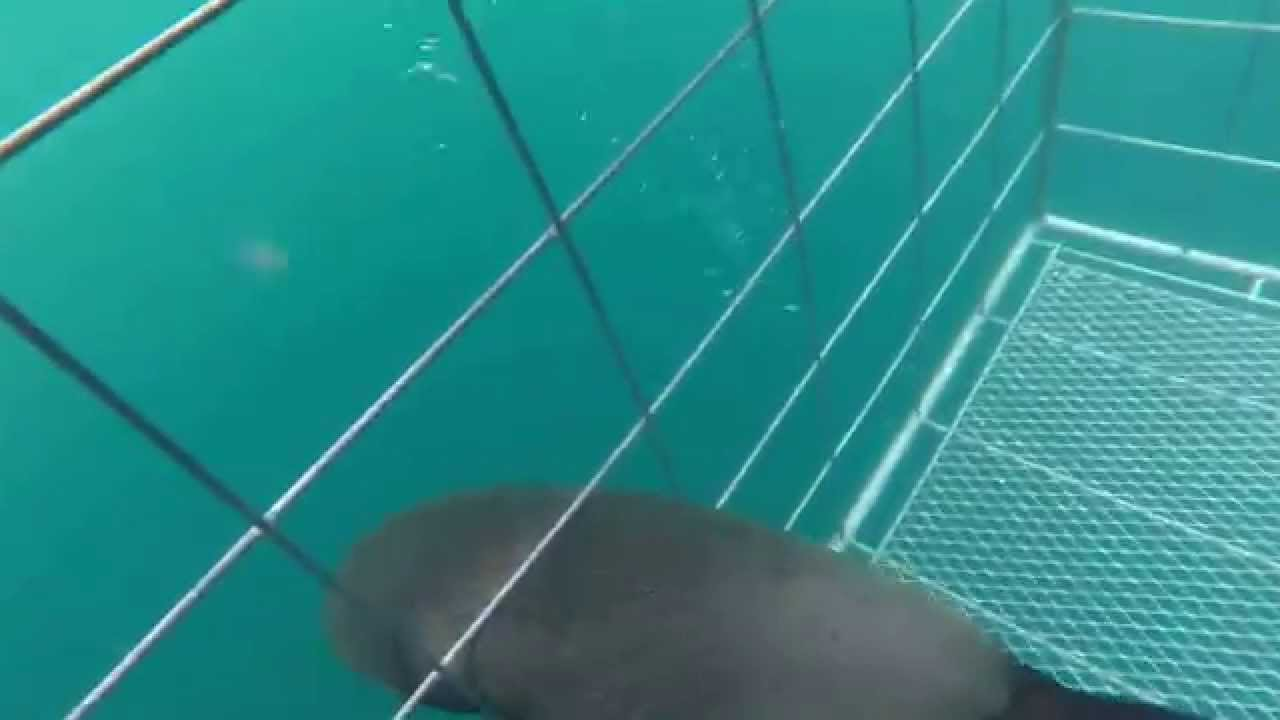 Sea lion enters shark-diving cage; needs help with exit (video)