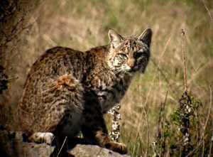 Lynx in Texas? Pt. 2