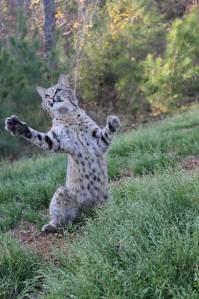 Lynx in Texas? Pt. 1