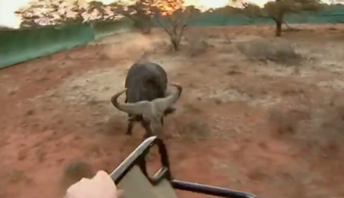 African Buffalo Attacks Vet's Truck (VIDEO)