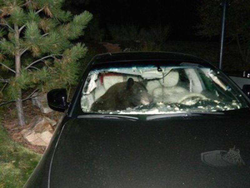 bear-car