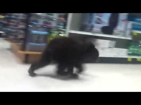 Black Bear Cub Romps Through Rite Aid (VIDEO)