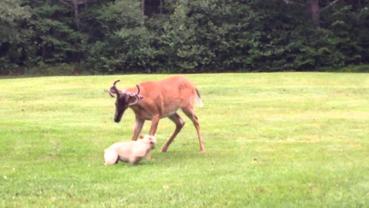 Buck Wants to Fight French Bulldog (VIDEO)