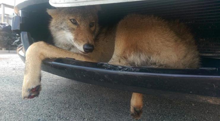 coyote-car