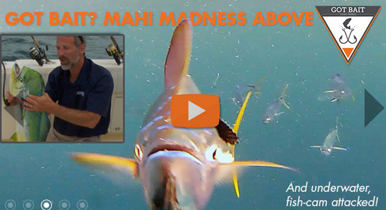 THEY ATE THE FISH-CAM - Got Bait? III is Mahi-Mahi Mayhem