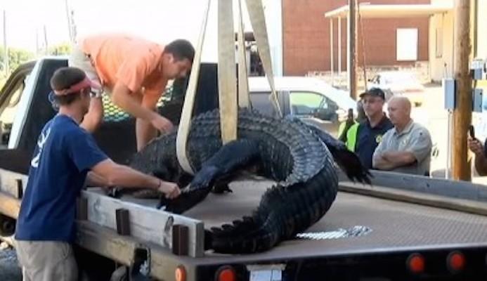 outdoorhub-georgia-hunter-harvests-660-pound-alligator-2014-10-03_17-50-53-400x231