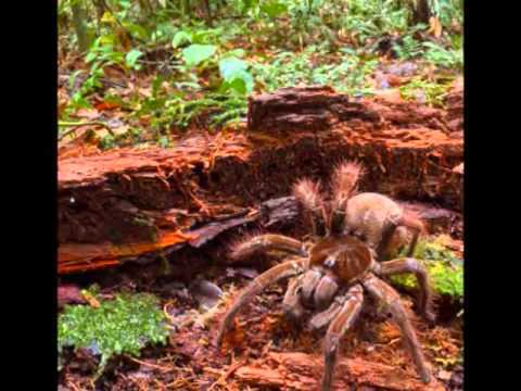 Scientist Finds Dog-sized Tarantula in Guyana (VIDEO)