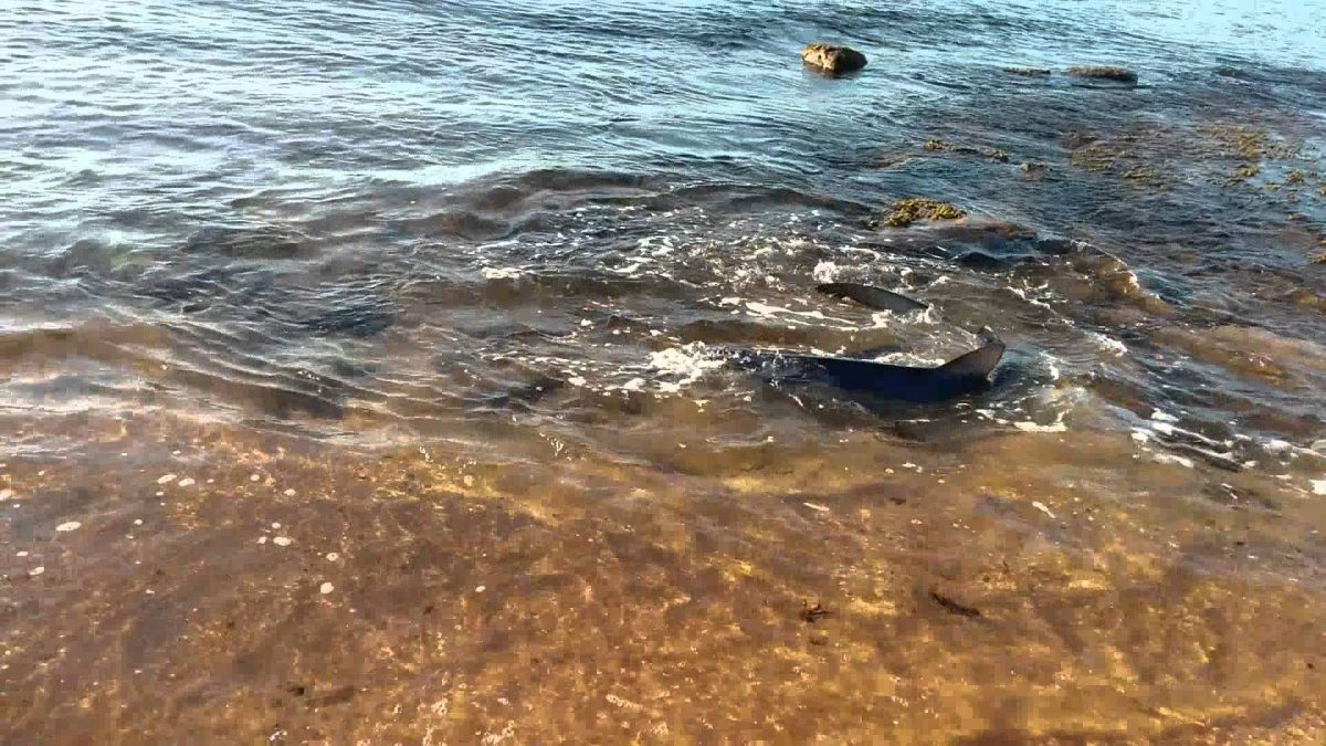 Shark swims right on to beach in Australia (video)
