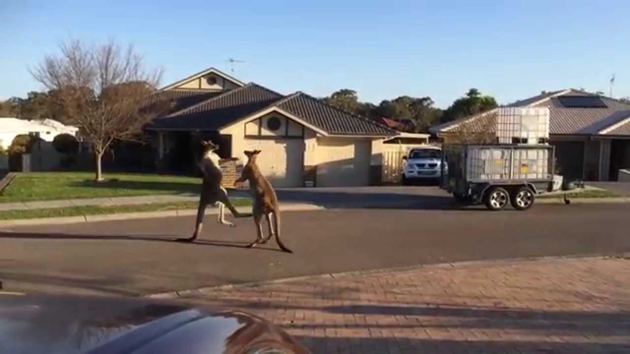 This is a video of two kangaroos boxing in the middle of suburbia – and it's kind of awesome
