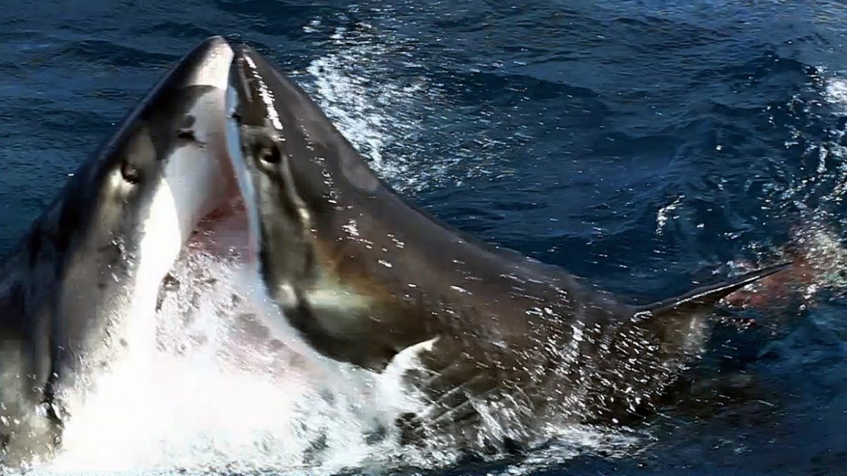 Wildlife Footage Shows a Great White Shark Do Something Rarely Captured on Video