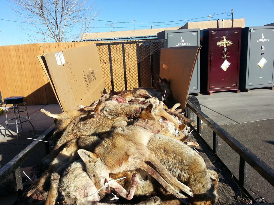 coyote-hunt-larrys-