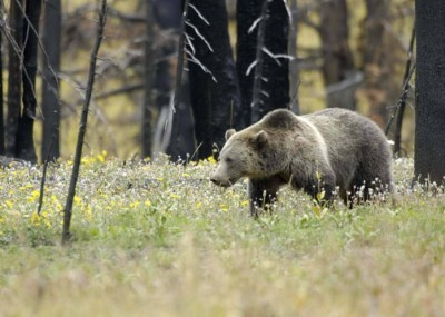 outdoorhub-how-close-are-grizzlies-following-hunters-study-aims-to-find-out-2014-11-20_21-38-33-400x285