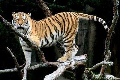 outdoorhub-tiger-loose-forest-near-disneyland-paris-wolf-hunters-track-2014-11-13_17-39-35-400x266