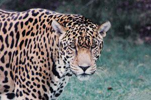 Jaguar Truths (Pt. 1)