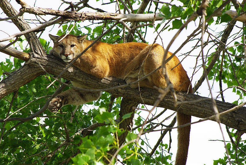 outdoorhub-first-adult-mountain-lion-seen-in-kentucky-since-civil-war-shot-by-wildlife-officer-2014-12-17_20-06-03