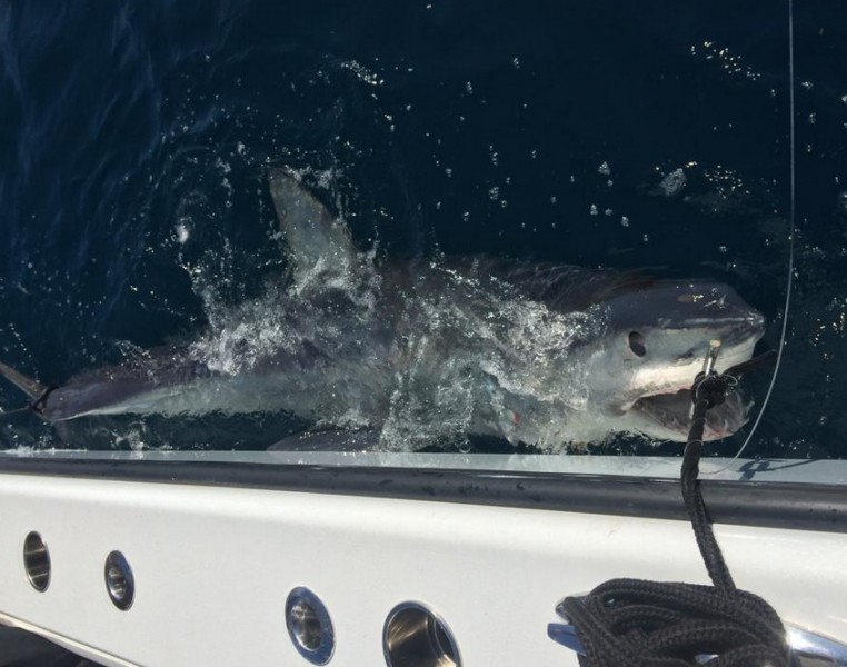 outdoorhub-louisiana-angler-reels-in-massive-580-pound-mako-shark-2014-12-18_20-36-47-762x600