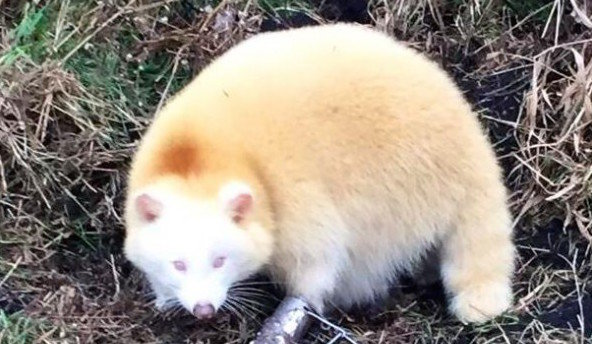 outdoorhub-photo-albino-raccoon-trapped-in-indiana-2014-12-18_21-21-38-600x600-crop