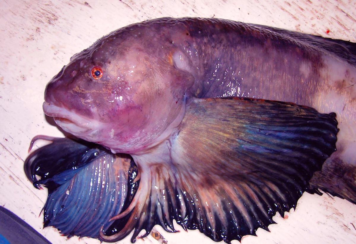 Purity_snailfish