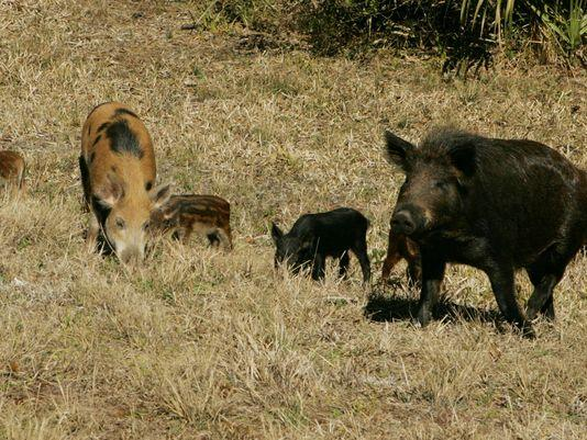 Poison delivery systems being tested to control wild hog population