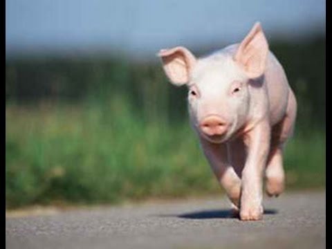 If You See a Pig Running On a Texas Highway, It's Funny. When You See What It's Chasing…