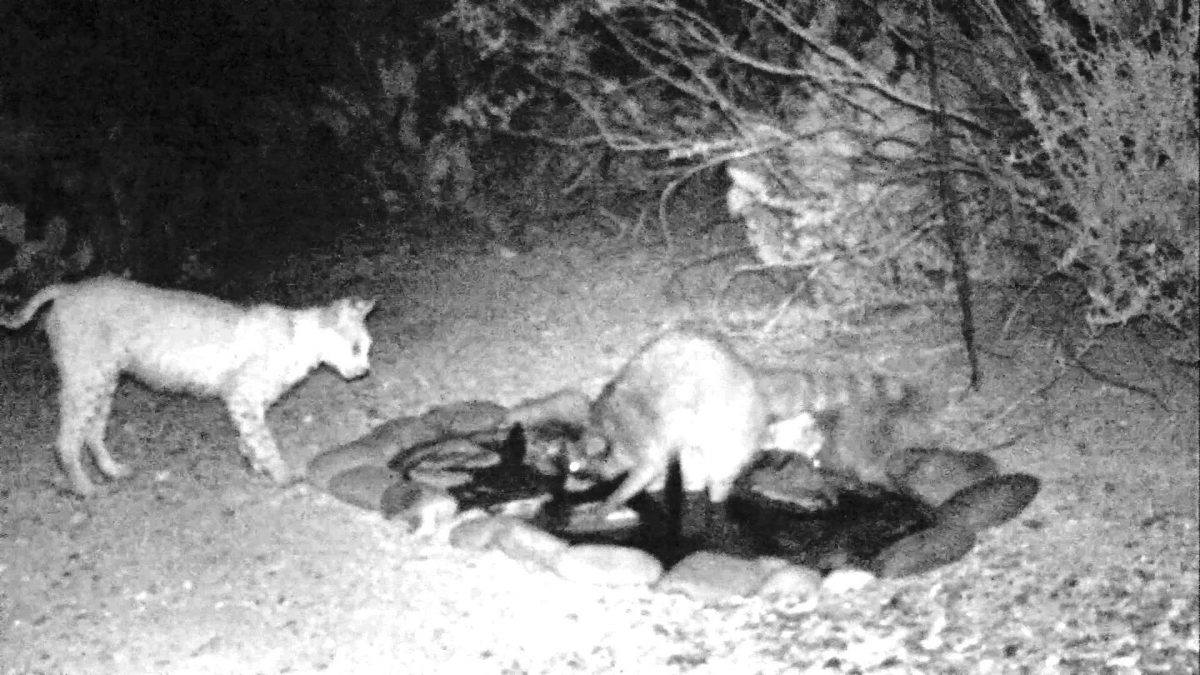 Raccoon and Bobcat Face Off over Watering Hole (VIDEO)