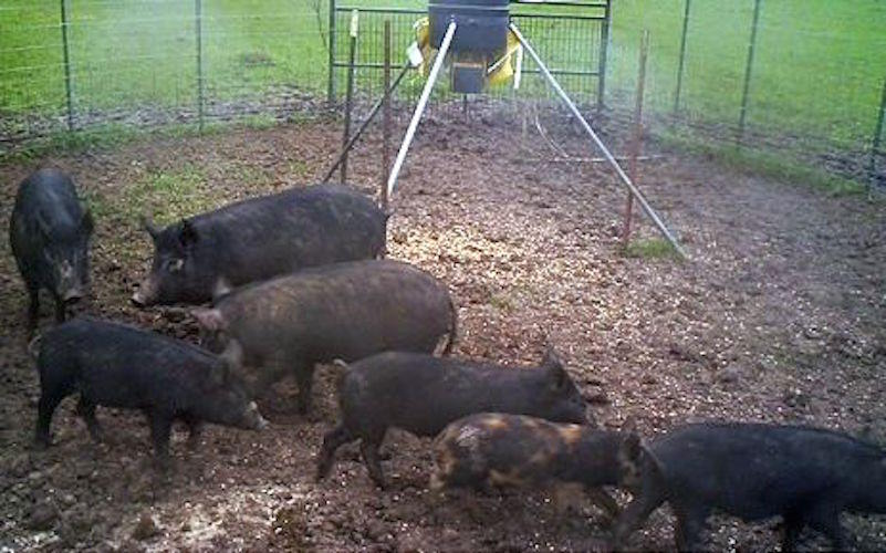 SETX battles feral hog invasion