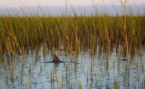Redfish in the marshes