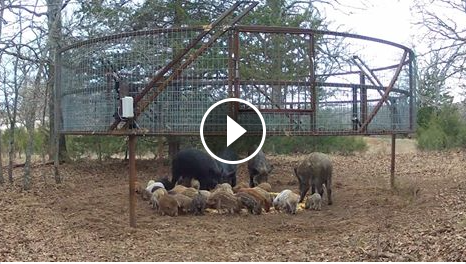 Feral hog control possible with advanced trapping system