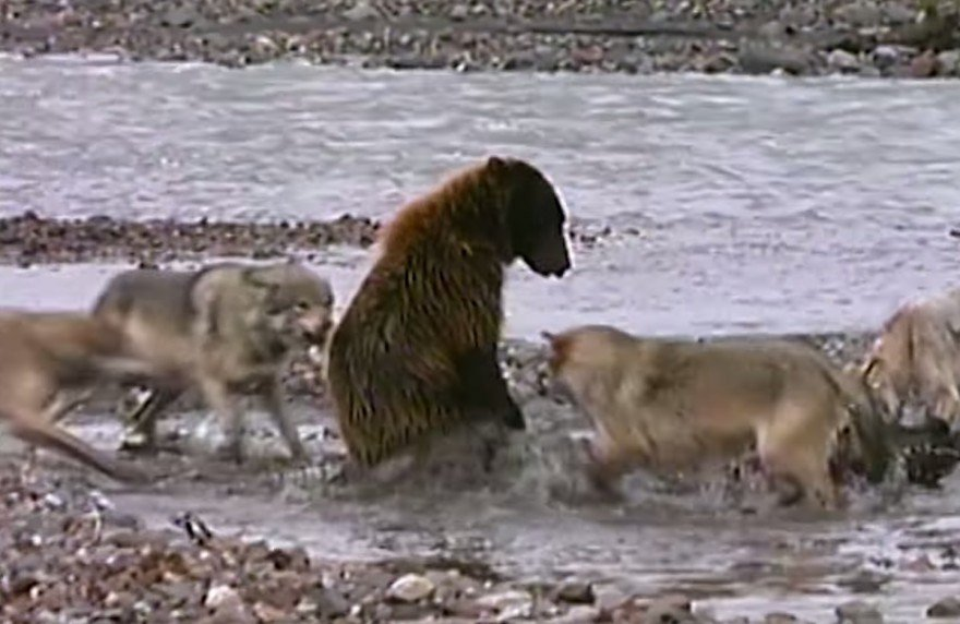 Young Grizzly Fights 4 Gray Wolves over Dinner (VIDEO)