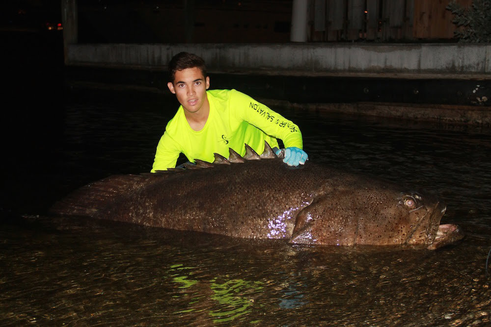 Goliath Grouper Handlined from Shore (VIDEO)