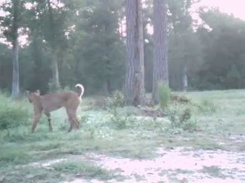 Long-tailed Bobcat (video)