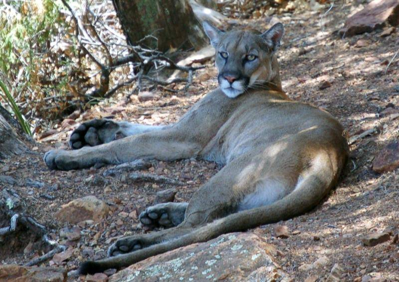 Mountain Lion Drags Deer Under Colorado Home, Eats It as Family Watches (VIDEO)