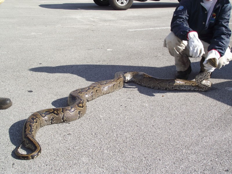 Florida Officials to Hunt Down Northern African Pythons