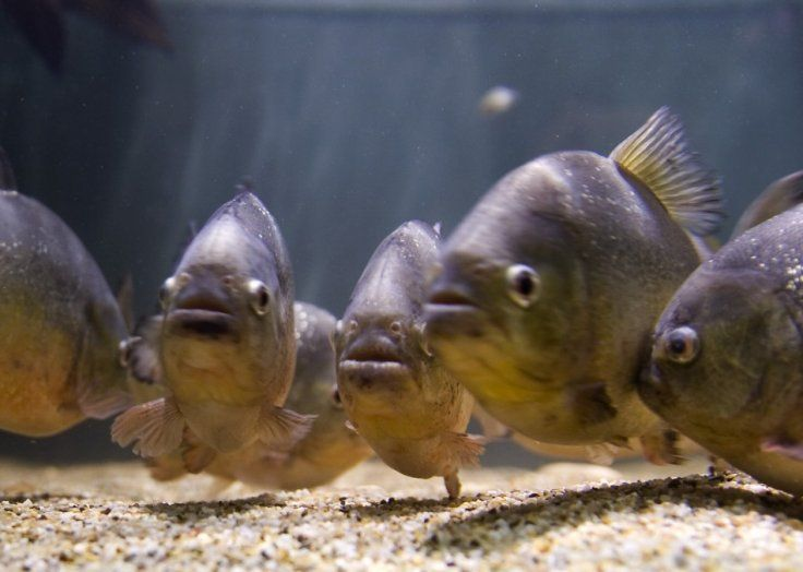 Brazil: Girl dies after being attacked and partly devoured by piranhas during a family holiday