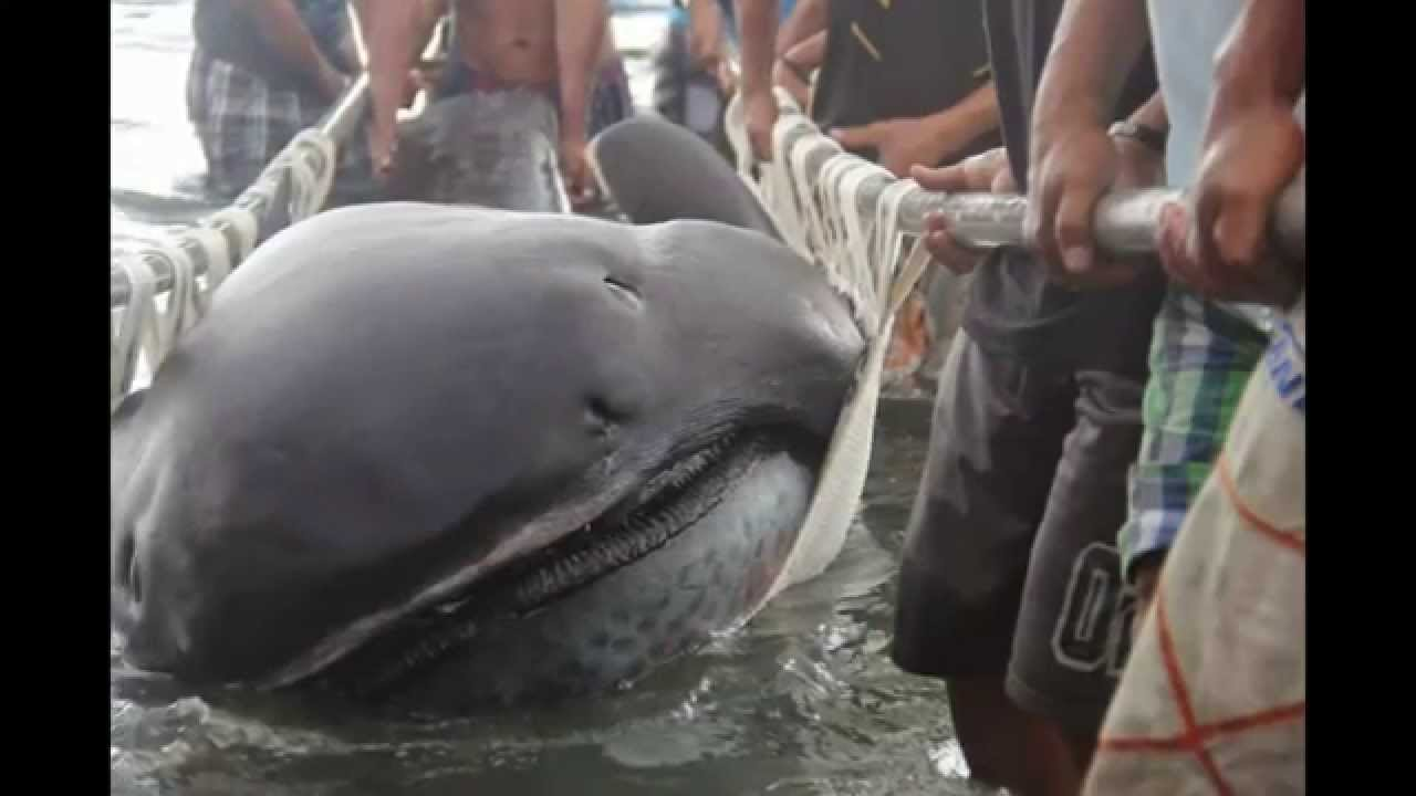 Rare Megamouth Shark Washes Ashore in the Phillippines (VIDEO)